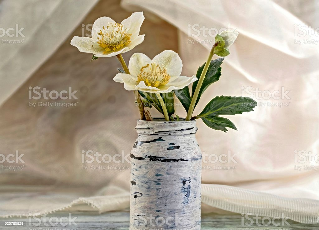 blooming hellebores stock photo