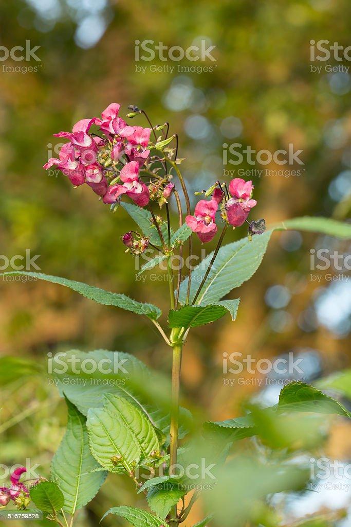 Blooming himalayan balsam, Impatiens glandulifera stock photo
