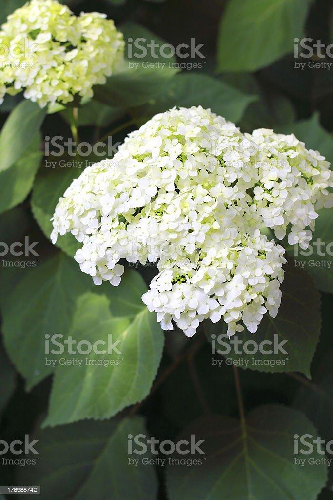 Blooming Hortensia stock photo