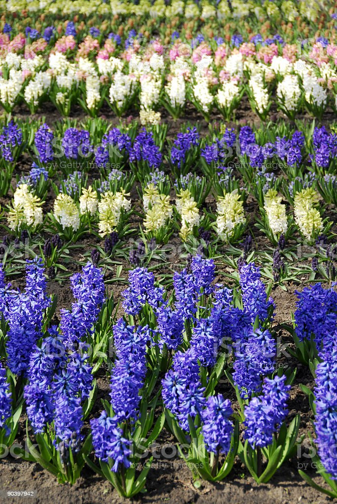 Blooming hyacinths. royalty-free stock photo