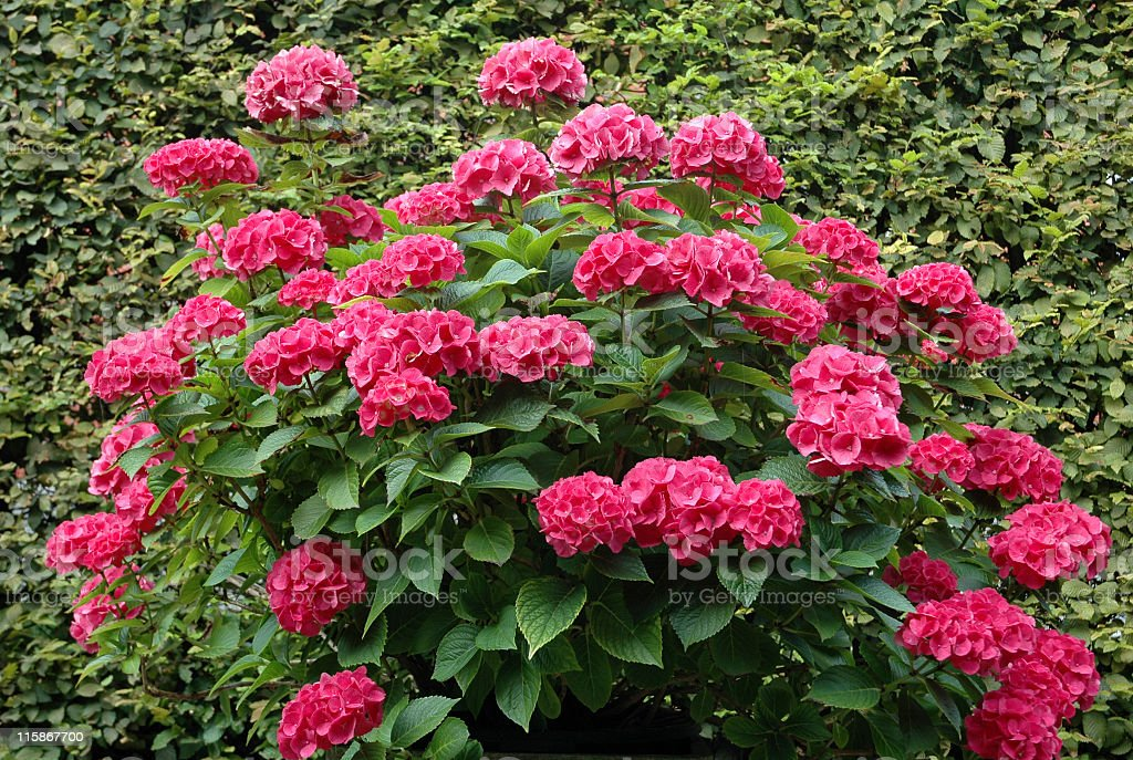 Blooming hydrangea Macrophylla against a hedge of hornbeam. stock photo