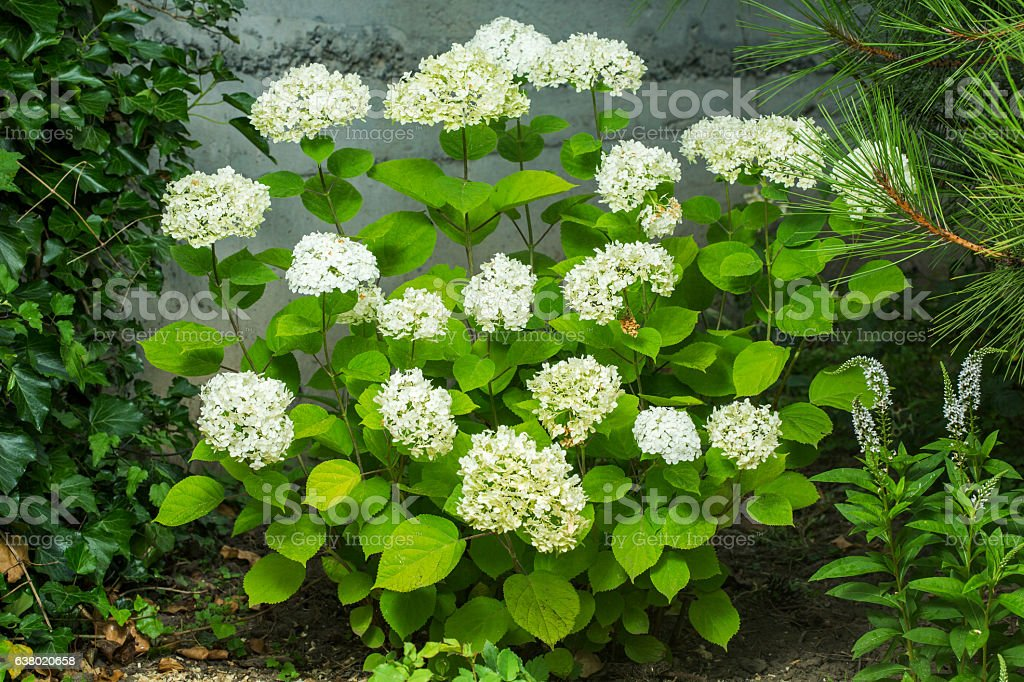 Blooming Hydrangea Paniculata Limelight with cream white flowers stock photo