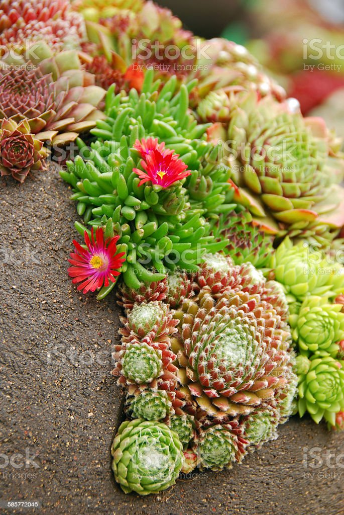 Blooming iceplant surround by crassulaceae stock photo
