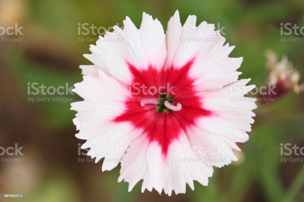 Blooming In Green Grass Wildflowers Meadow Carnations stock photo