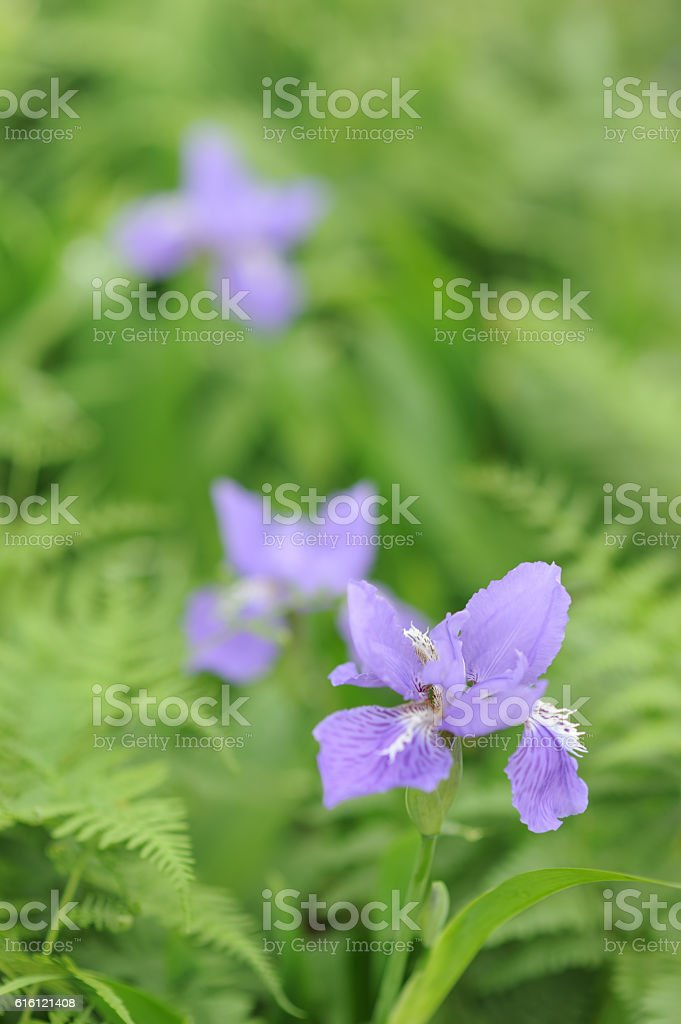 Blooming Iris flowers stock photo