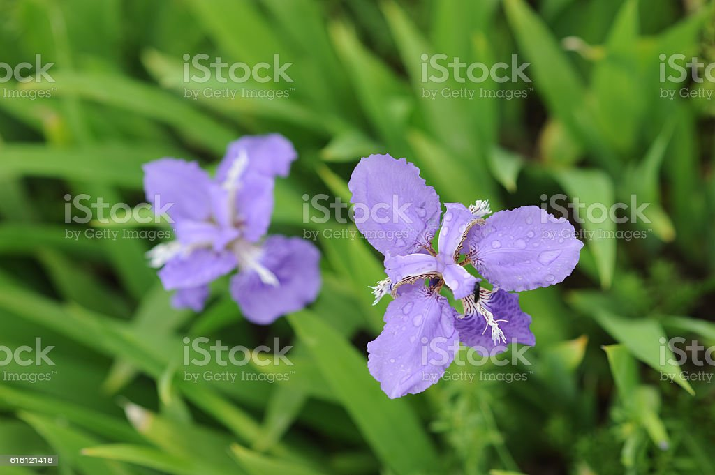 Blooming Iris flowers with water drops stock photo