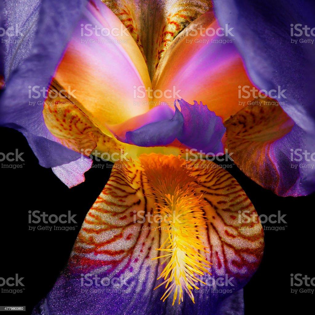 Blooming Iris on Black stock photo