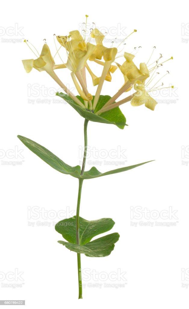 Blooming italian woodbine, Lonicera caprifolium isolated on white background stock photo