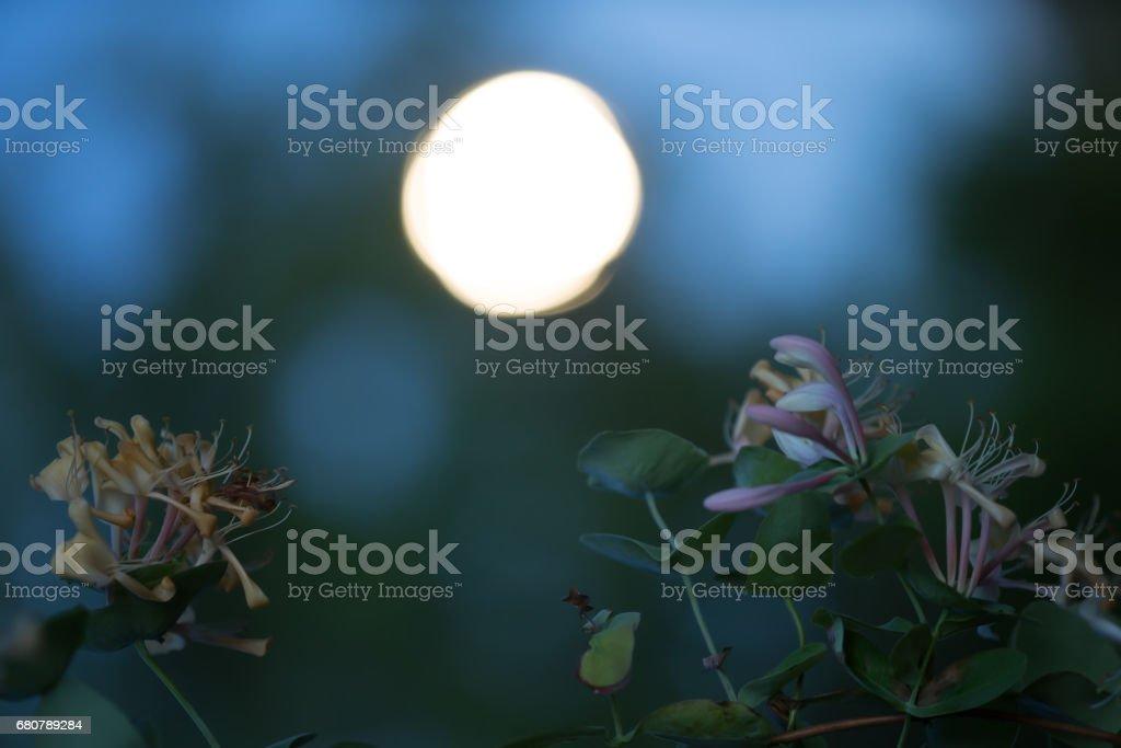 Blooming italian woodbine, Lonicera caprifolium photographed at night stock photo