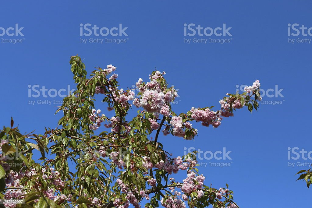 Blooming Japanese cherry tree royalty-free stock photo