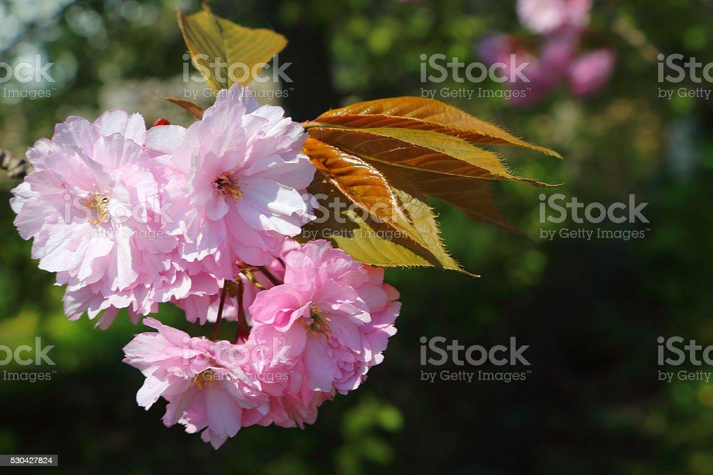 Blooming Japanese cherry tree stock photo