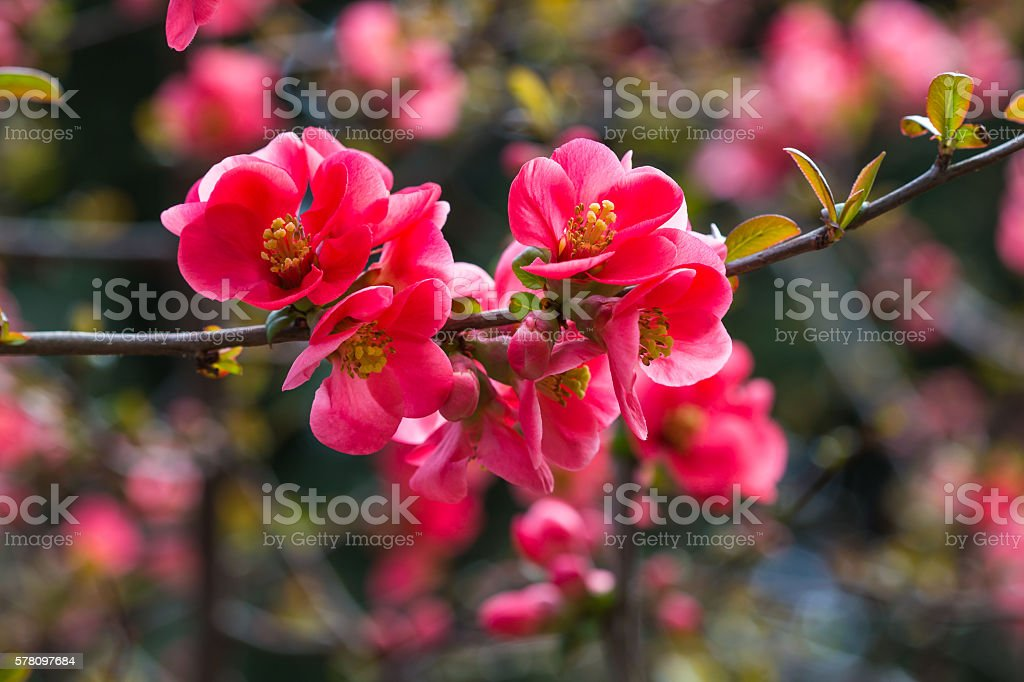 Blooming Japanese quince stock photo