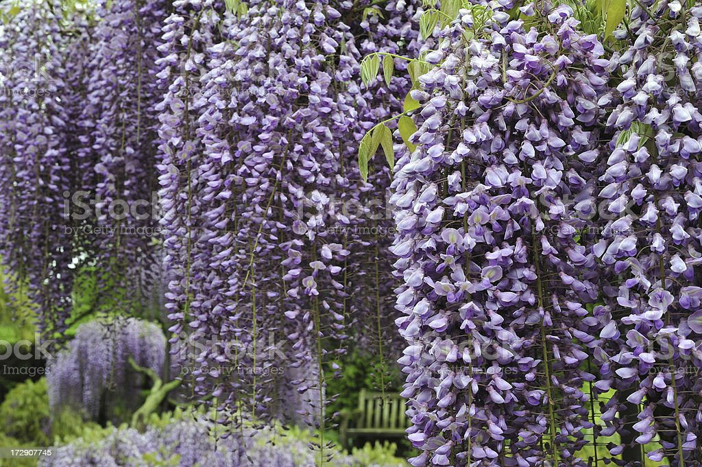 Blooming Japanese Wisteria royalty-free stock photo