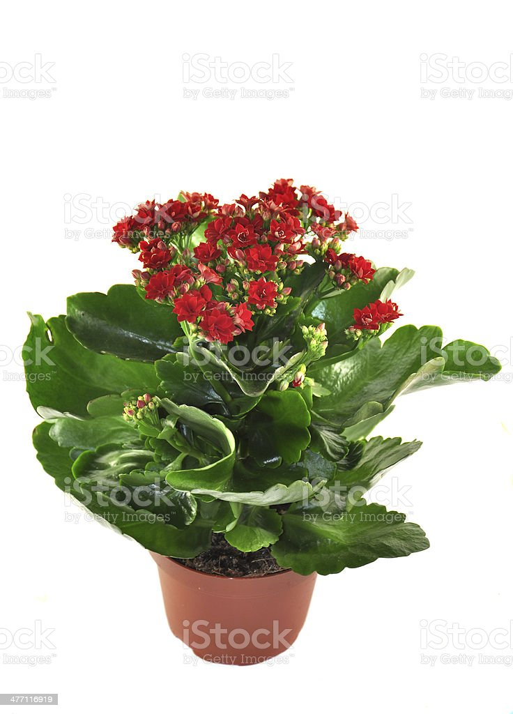Blooming Kalanchoe isolated on a white background stock photo