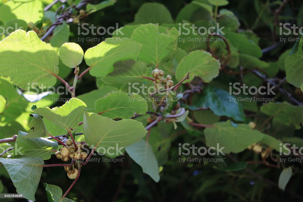 Blooming Kiwi in the garden in summer stock photo