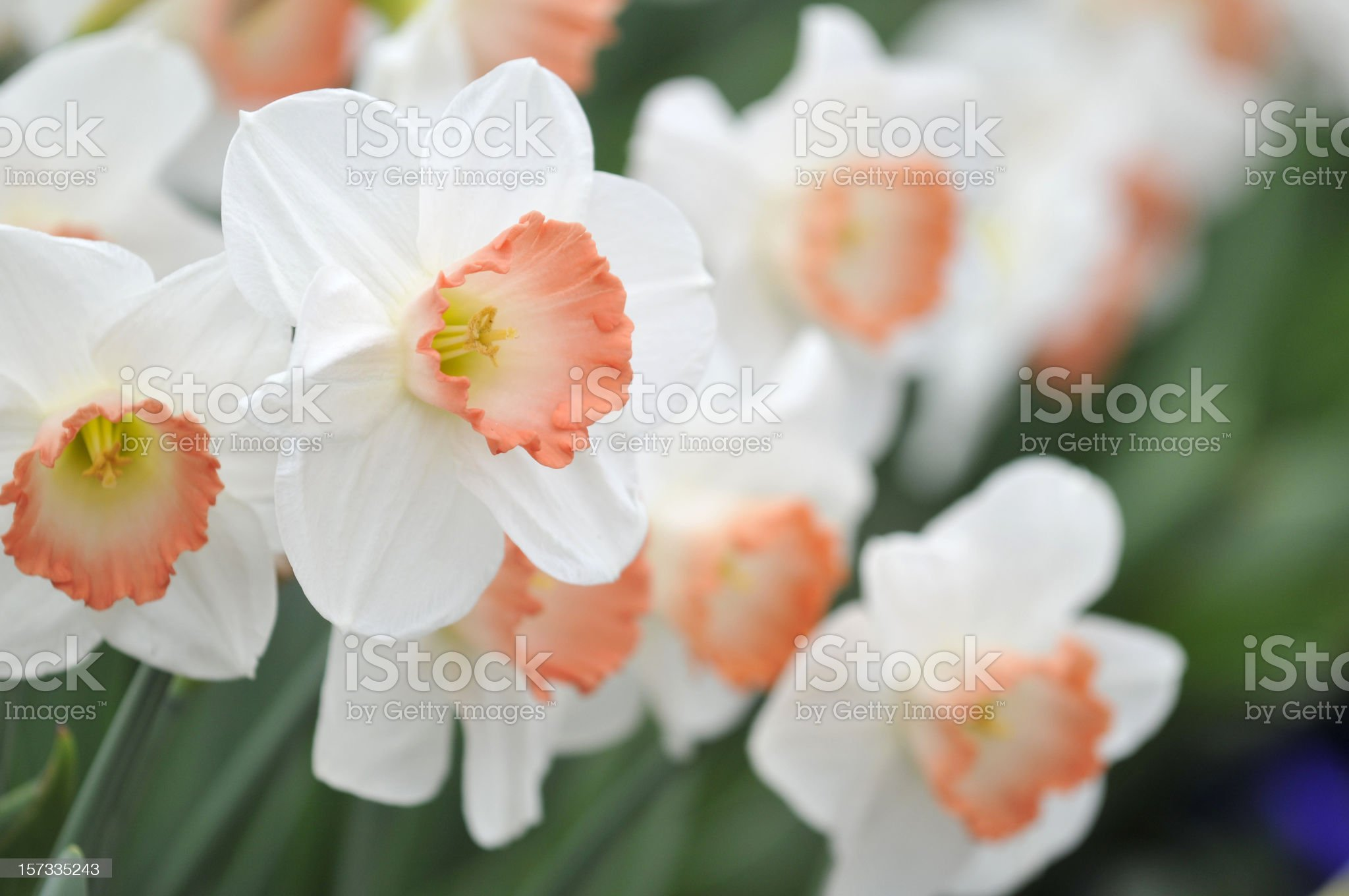 Blooming Large-Cupped Daffodils royalty-free stock photo
