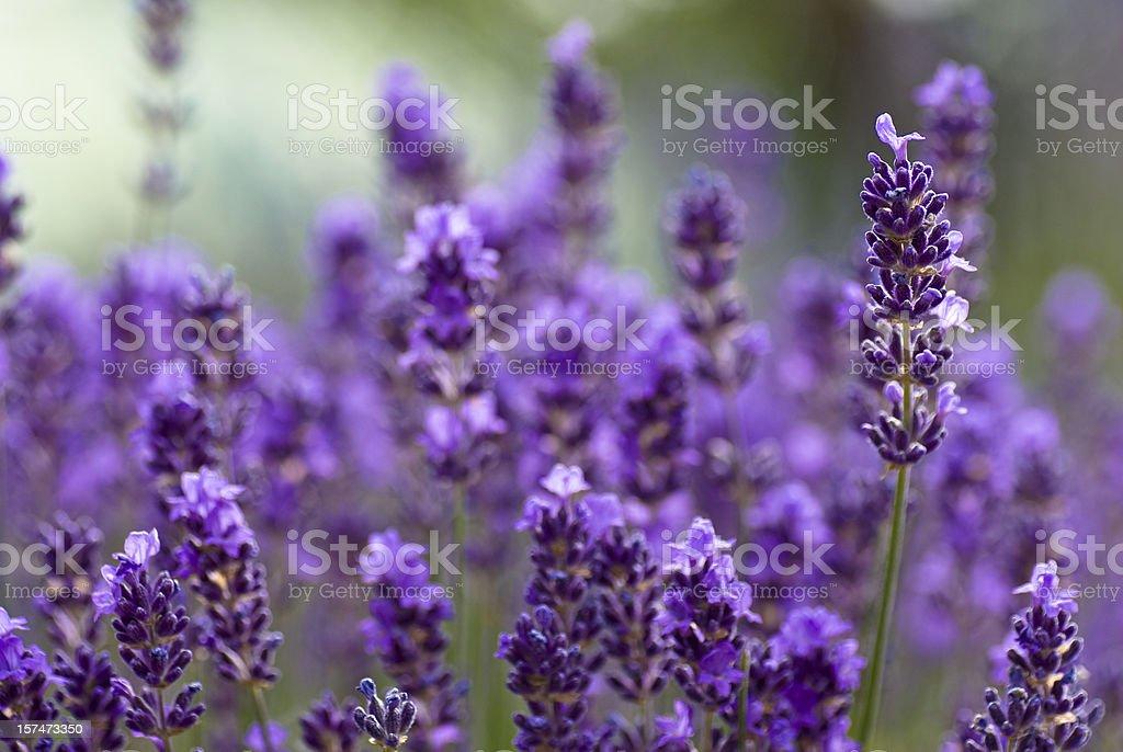 Blooming Lavander stock photo