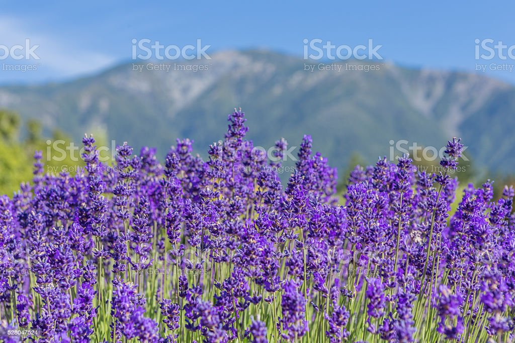 Blooming lavender against the distant mountains stock photo