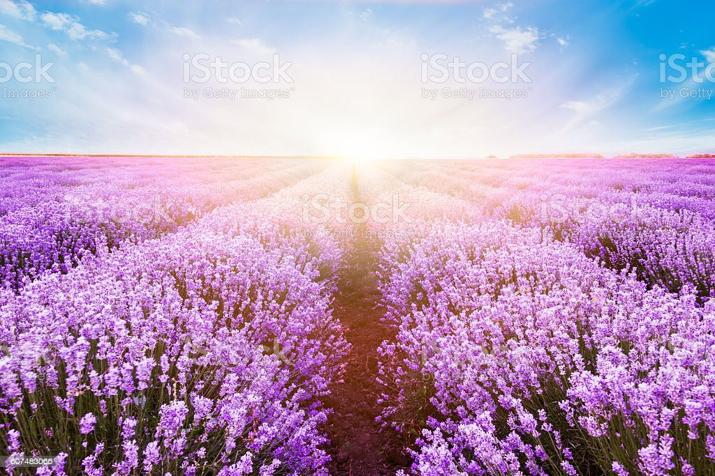 Blooming lavender field under the bright colors of the sunset stock photo