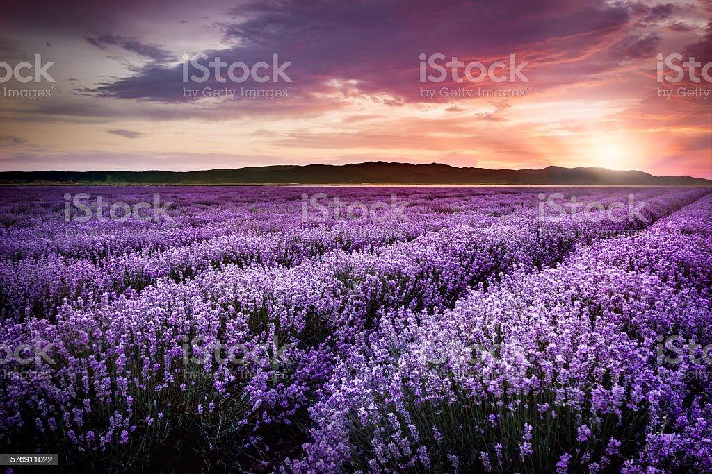 Blooming lavender field under the red colors of the summer sunset stock photo