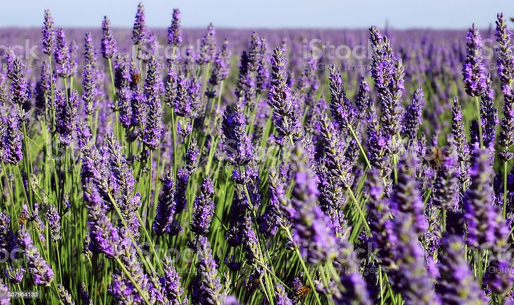 Blooming lavender in French Provence (Valensole) stock photo