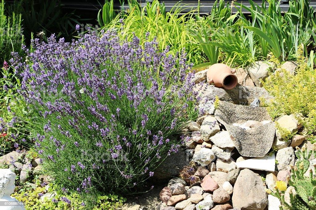 Blooming lavender in rockery in summer stock photo