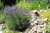 Blooming lavender in rockery in summer
