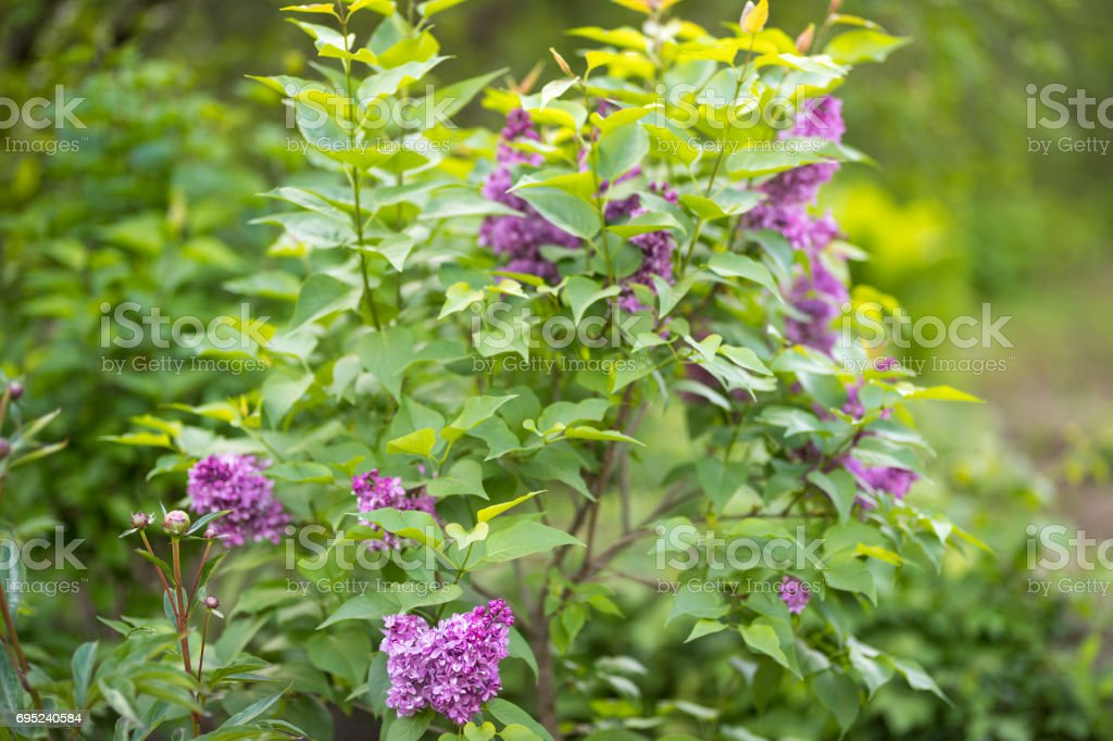 Blooming lilac in spring stock photo