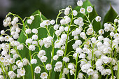 Blooming Lily of the valley in spring garden with shallow