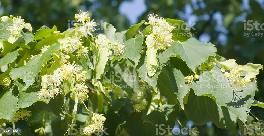 Blooming Lime Tree (Tilia spec.) stock photo