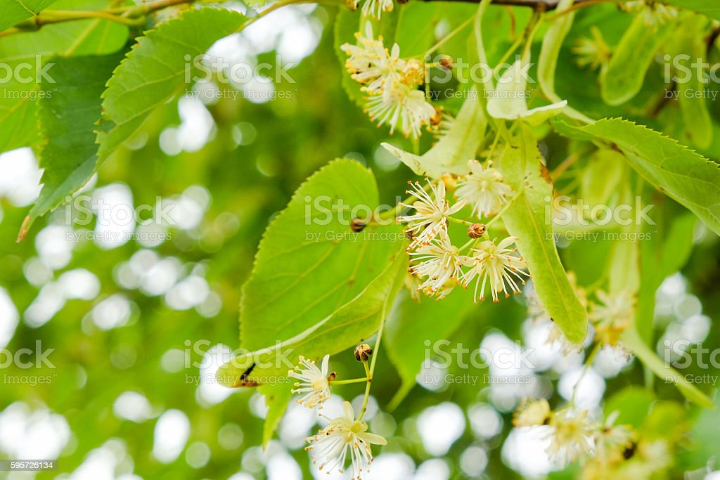 Blooming linden stock photo