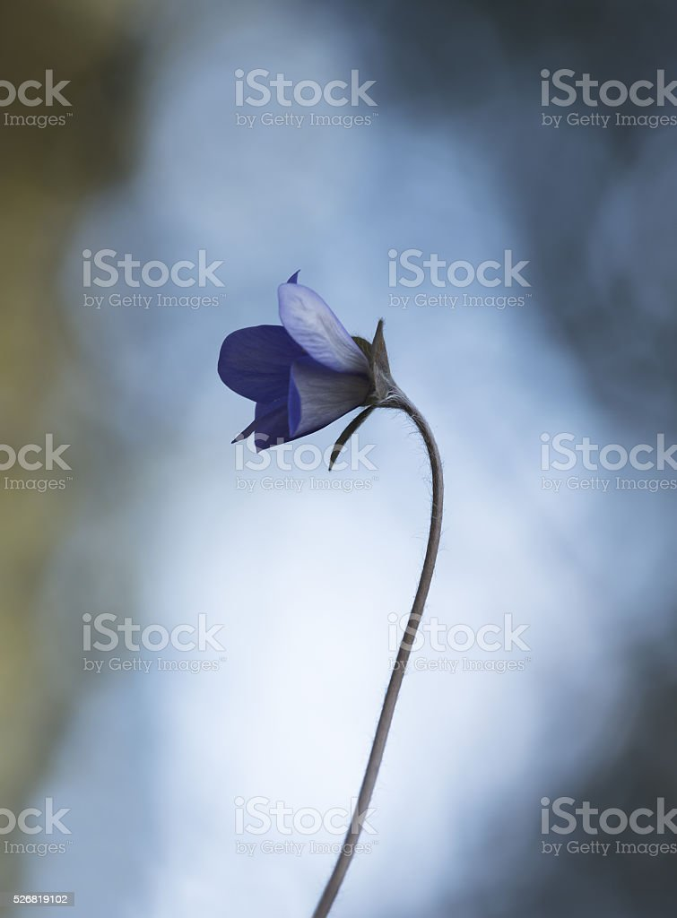 Blooming Liverleaf, Hepatica nobilis photographed with shallow depth of field stock photo
