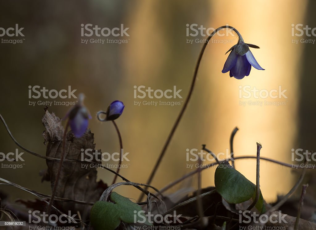 Blooming Liverleaf, Hepatica nobilis stock photo