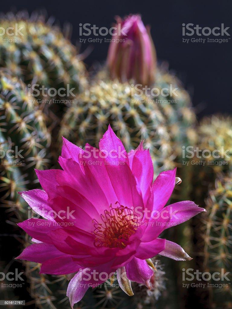 Blühende Lobivia Lizenzfreies stock-foto