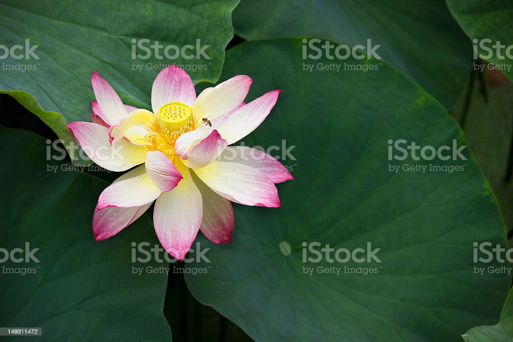 Blooming Lotus and Leaves royalty-free stock photo