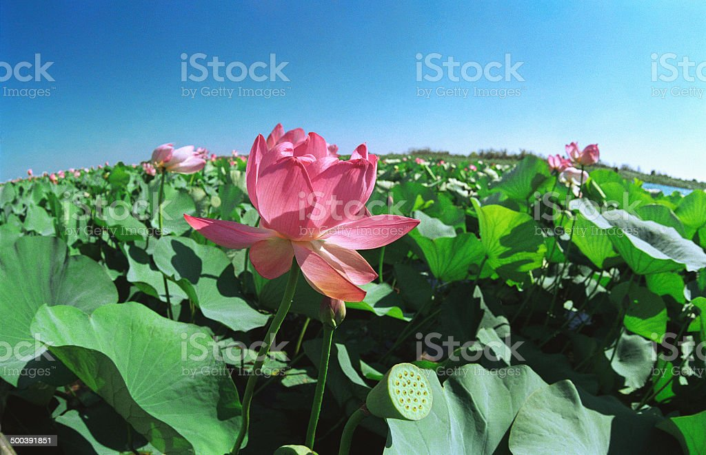 Blooming Lotus. Astrakhan region, Russia. royalty-free stock photo