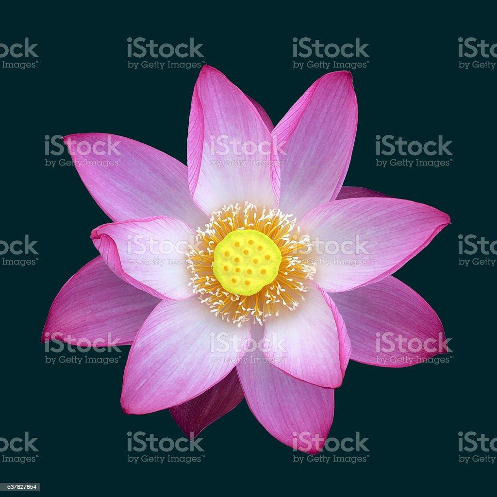 Blooming lotus flower against black stock photo