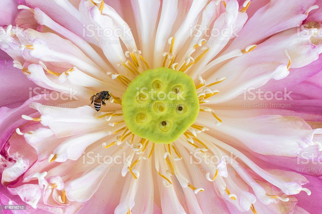 Blooming lotus flower and a bee stock photo