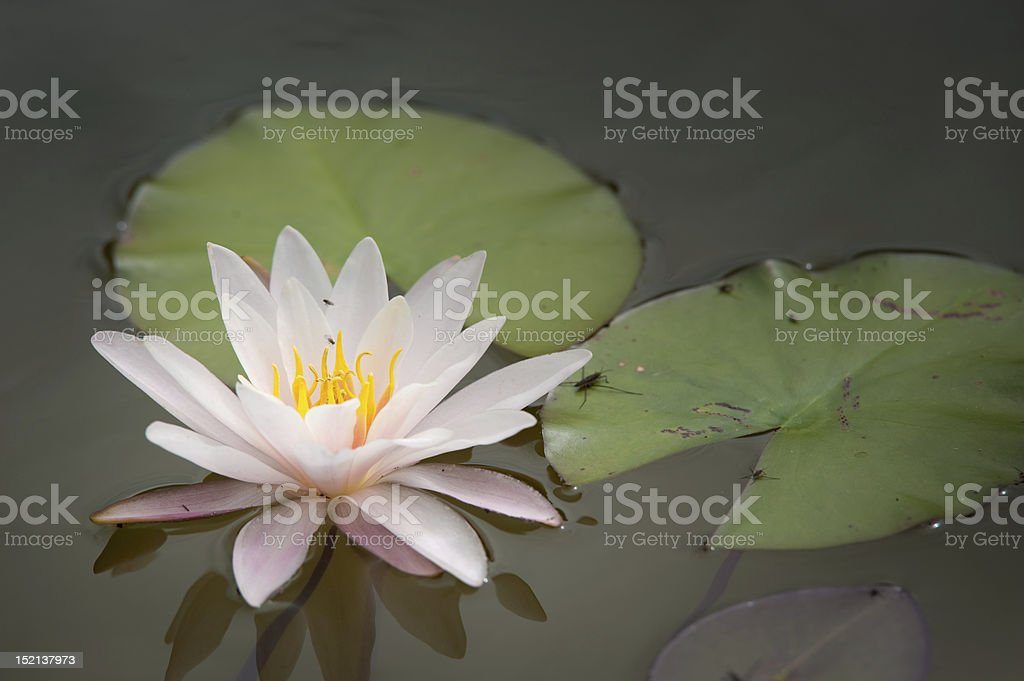 Blooming lotus flower and two leafs on lake surface royalty-free stock photo
