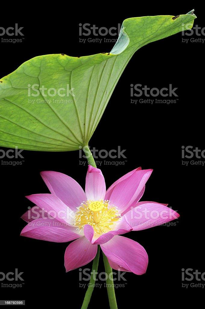 Blooming lotus flower beside green leaf royalty-free stock photo