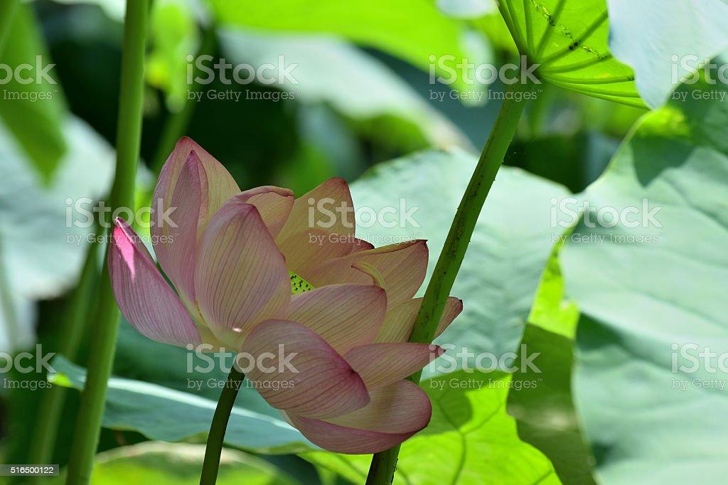 Blooming Lotus flower hide & seek stock photo