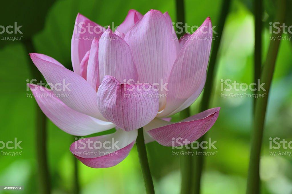 Blooming Lotus flower in Sankein Garden, Yokohama stock photo