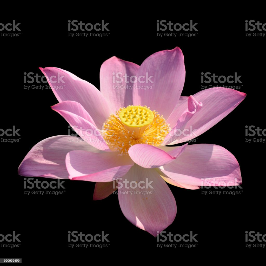 Blooming lotus flower isolated black stock photo