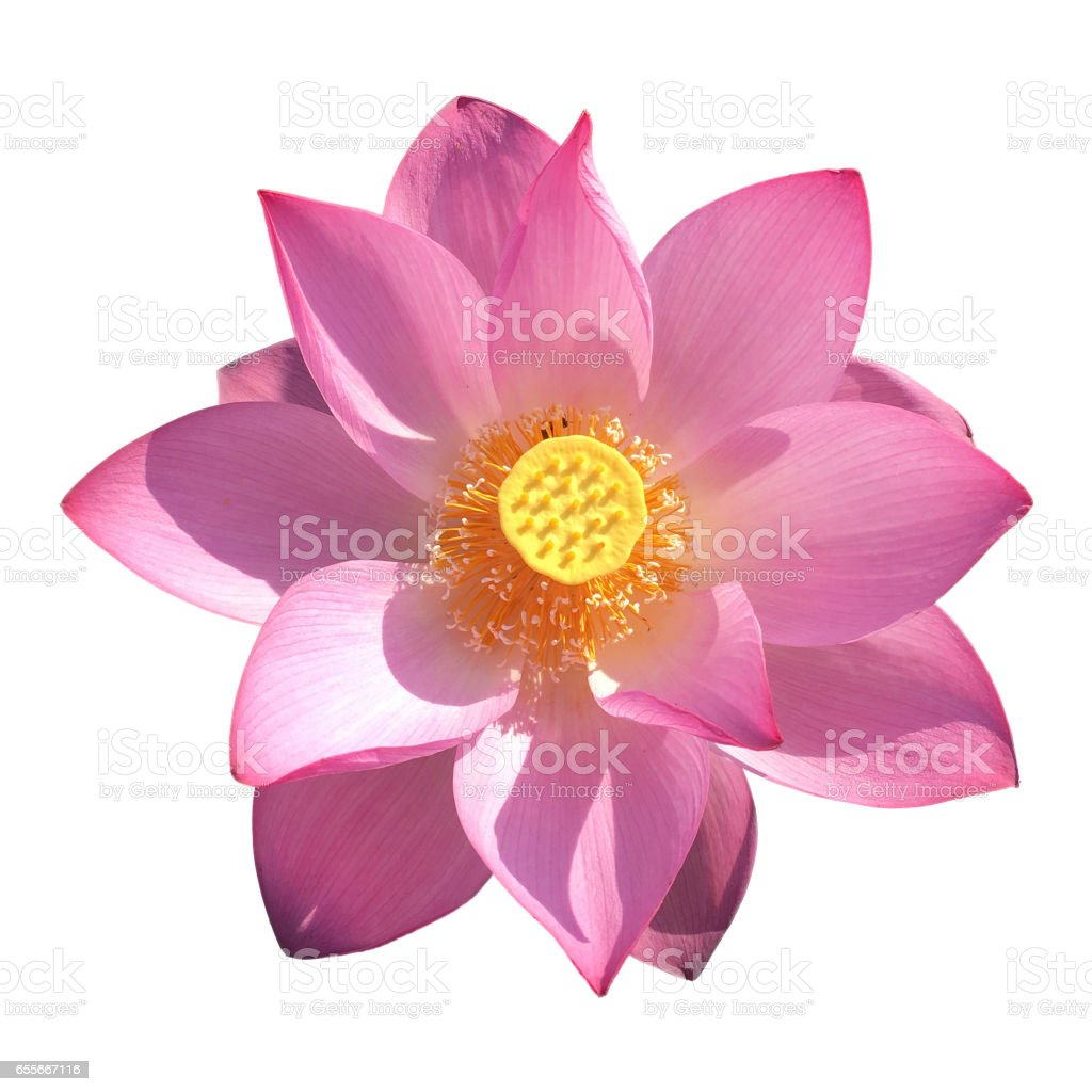 Blooming lotus flower isolated white stock photo