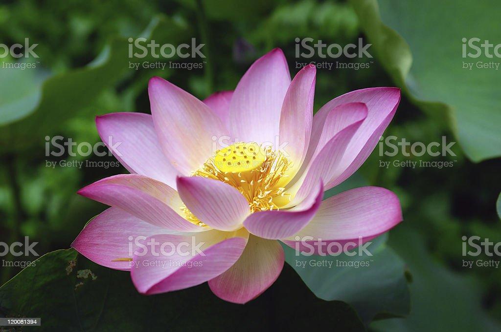 blooming lotus flower royalty-free stock photo