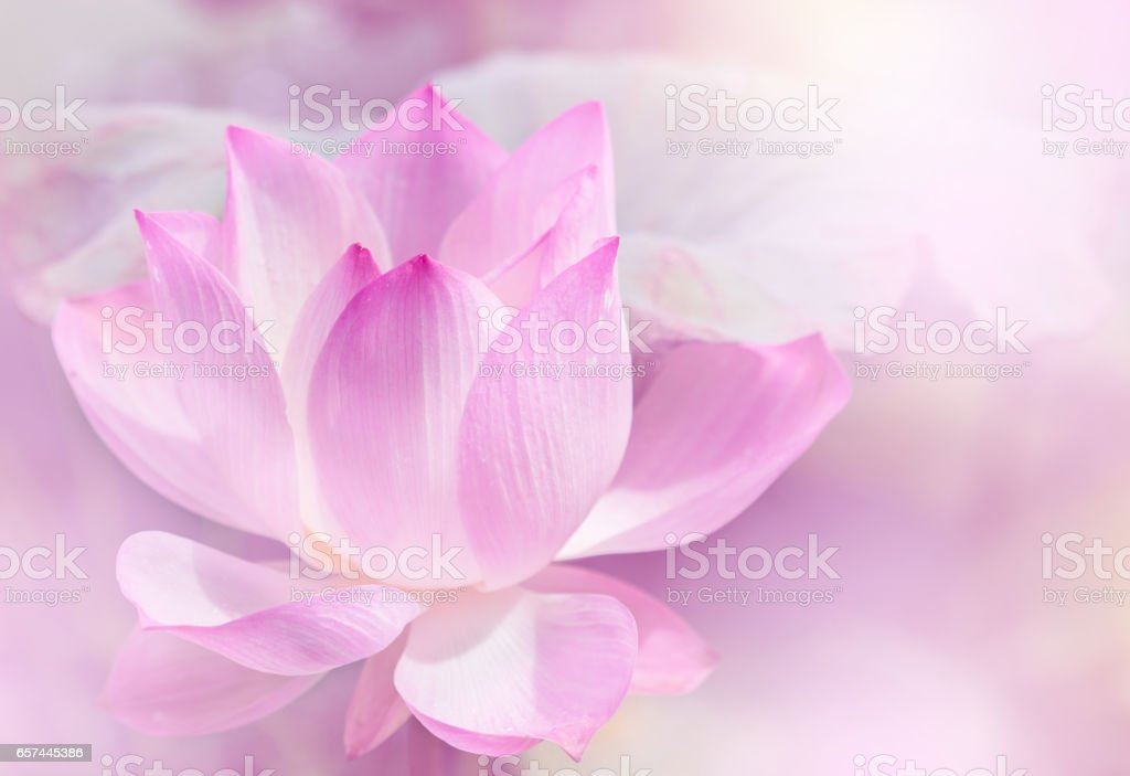 Blooming lotus flower. stock photo