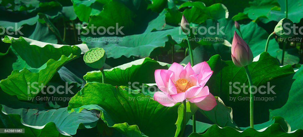 Blooming lotus flowers in the pond stock photo