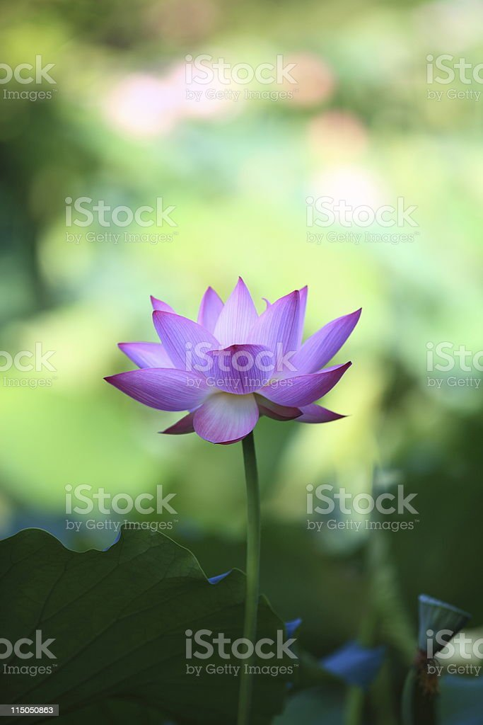 Blooming lotus royalty-free stock photo