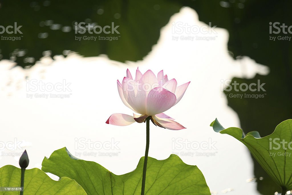 Blooming lotus under the sunlight royalty-free stock photo