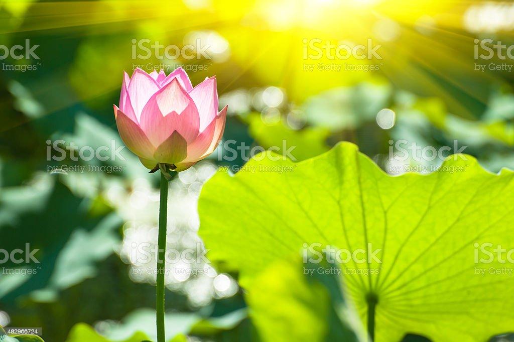 Blooming lotus under the sunshine stock photo